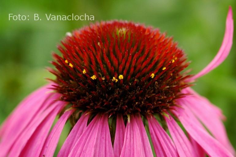 Echinacea Purpurea. Foto: B. Vanaclocha