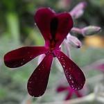 Pelargonium sidoides, Foto: Stickpen