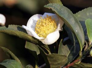 Camellia sinensis. Foto: Armin Kübelbeck (licencia CC)