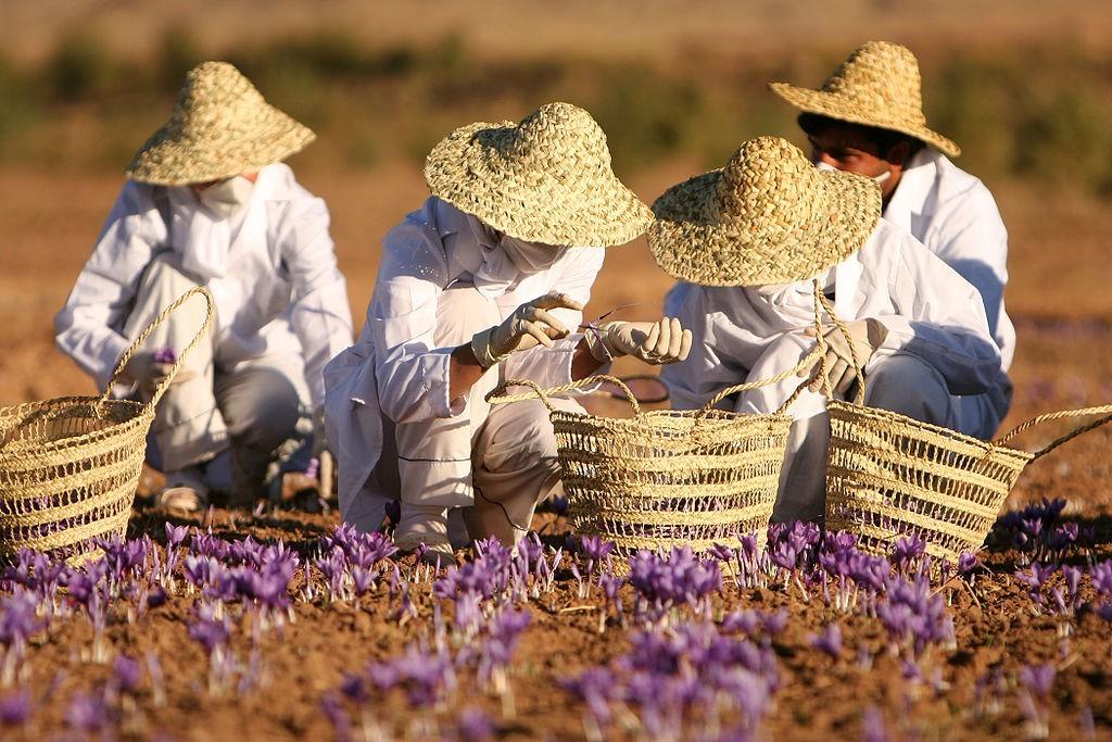 Recolección del azafrán. Foto: Safa Daneshvar (licencia CC)