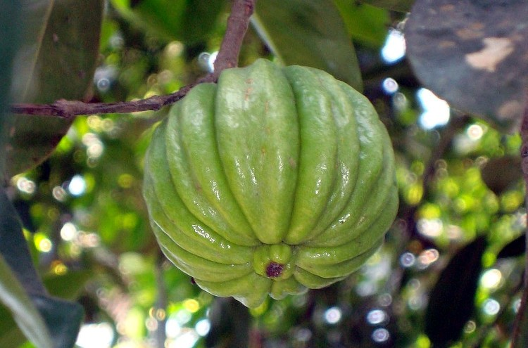 Frutoi de Garcinia gummi-gutta. Foto: Vsun (licencia CC)