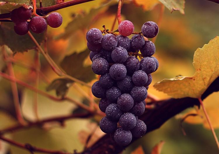 Vitis_vinifera_subsp_vinifera