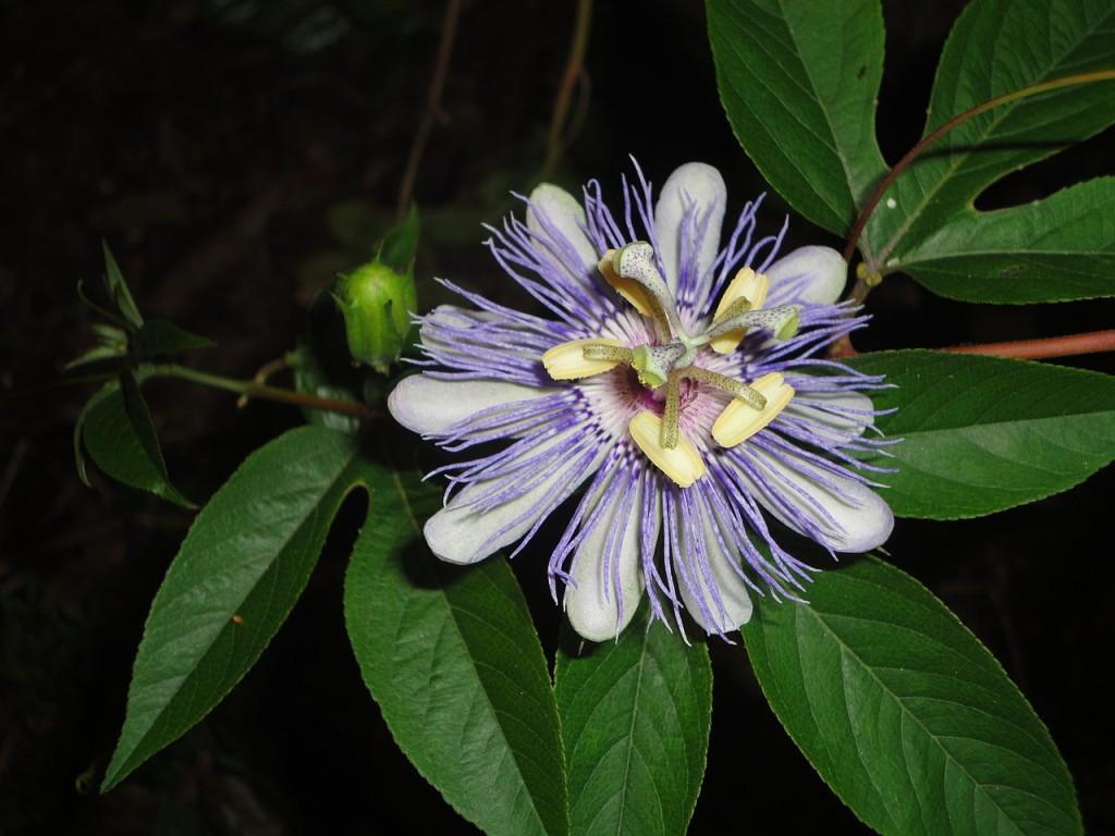 Passiflora_incarnata. Foto: E. Nielsen.