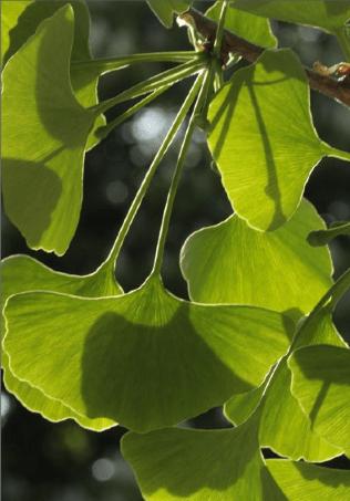 Ginkgo biloba. Foto: Salvador Cañigueral