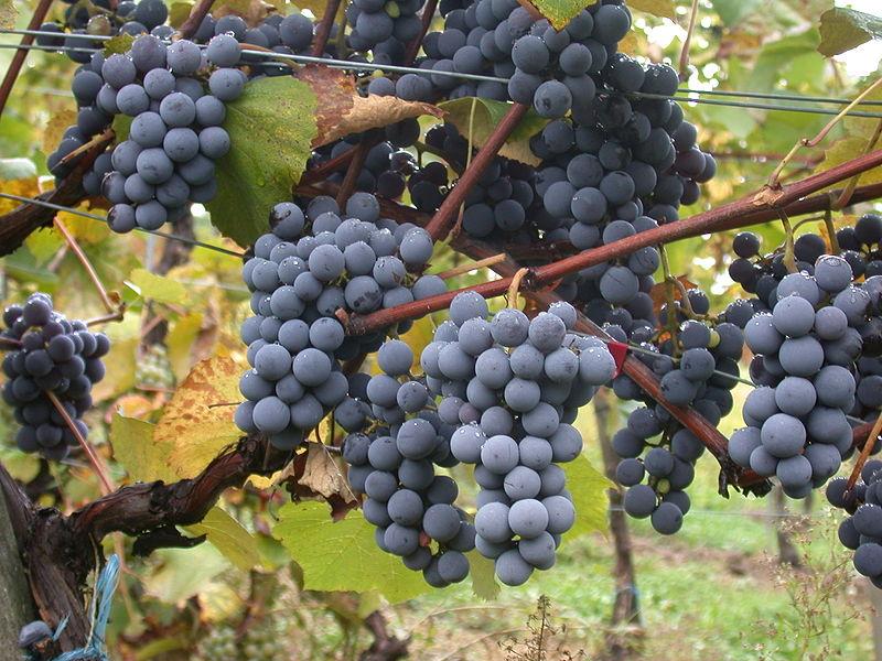 Vitis-vinifera-Wolfgang Lendl