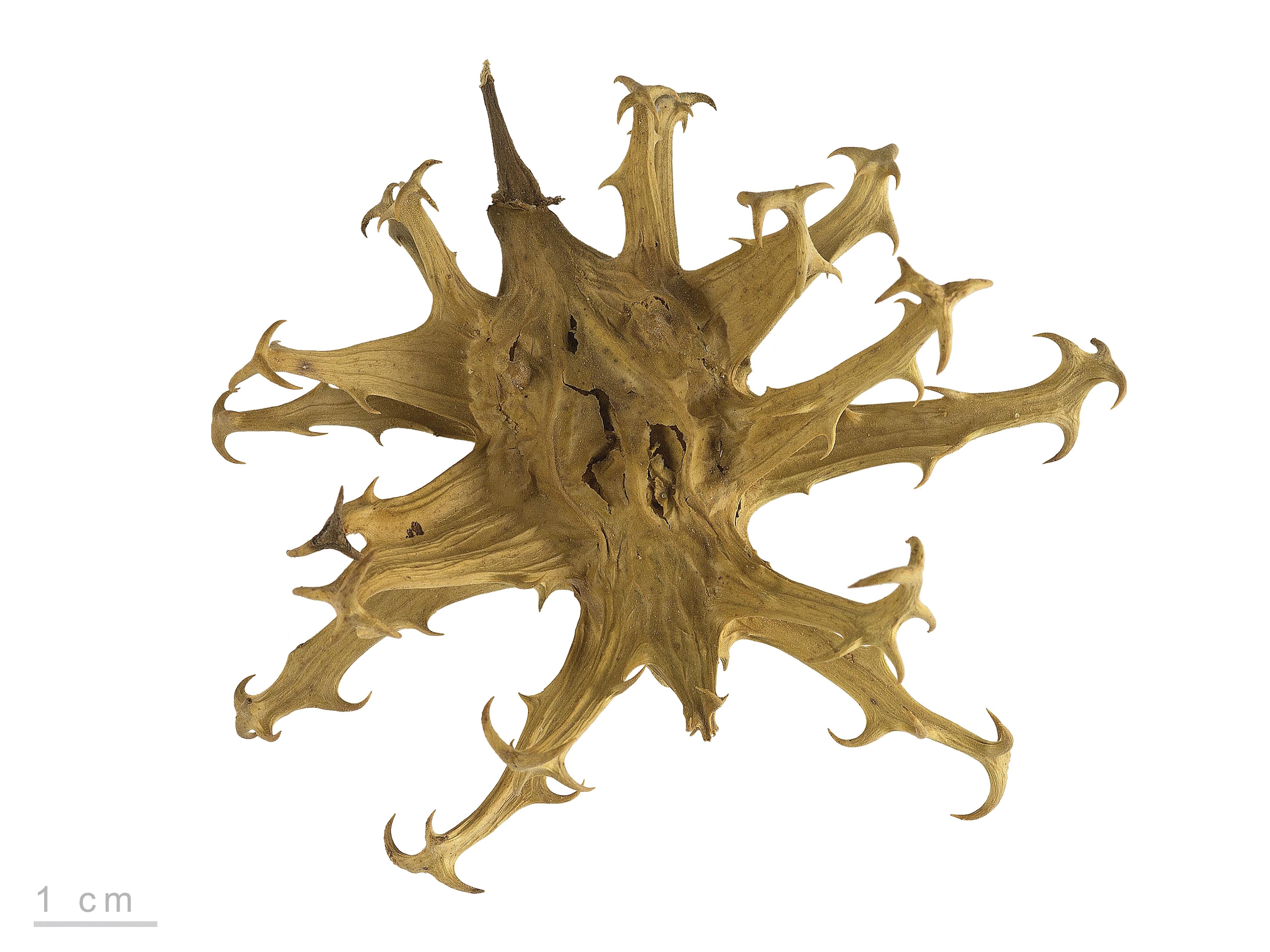 Harpagophytum procumbens MHNT.BOT.2005.0.1243.jpg