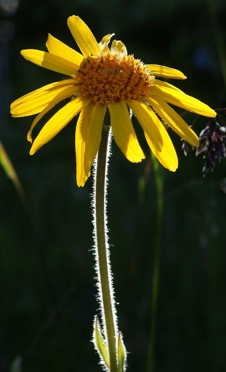 Flor de árnica. Foto: Hans Hillewaert (licencia CC)